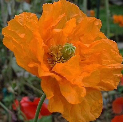 Spanish Poppy Double Tangerine Gem Seed Alpine Plant 60cm No Humidity Poor Soils