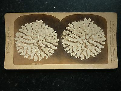 Stereoview Early Image Underwood & Underwood A Lovely Display Of Coral No 195