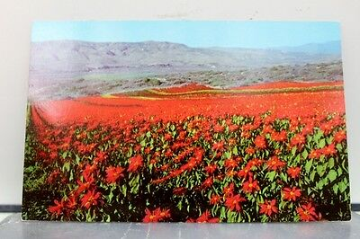 California CA Field of Poinsettias Postcard Old Vintage Card View Standard Post