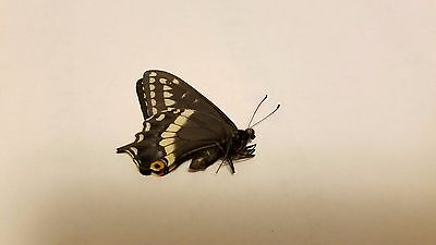 RARE Male PAPILIO INDRA INDRA Black Swallowtail Real Butterfly Utah Locale