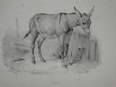 Esel - Bulle - Tiere Zoologie - V. Adam - Lithographie - 1850