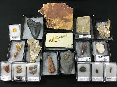 18 Pc Fossil Collection - Megalodon, Spinosaurus Dinosaur Tooth, Amber ...