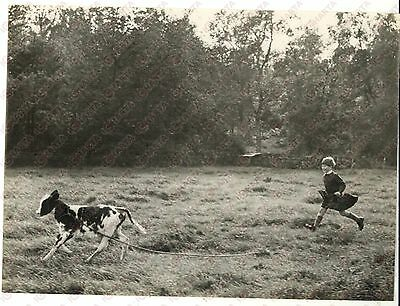 1957 BALMORAL CASTLE - Kilted prince Charles running after a calf *Photo 20x15