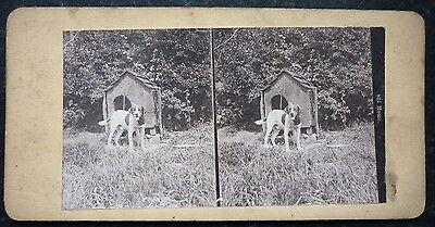 Stereoview Nice Early Image Dog A Kennel Card One