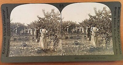 c.1900 DELAWARE AFRICAN-AMERICAN FARMHANDS PICKING PEACHES Stereoview Photograph