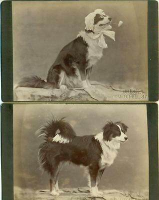 LOT of 2, c 1890 PET DOG, BORDER COLLIE ? DRESSED in BONNET GLASSES & PIPE Hodge