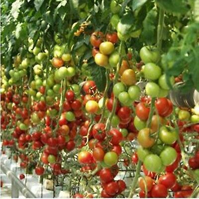 Red Beefsteak Tomato Seeds Tolstoy F1 Early Dutch Hybrid NON GMO