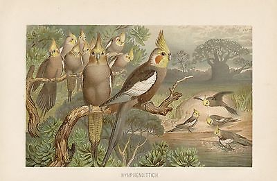 Nymphensittich  (Nymphicus hollandicus) Papageien Papagei  Lithographie von 1892