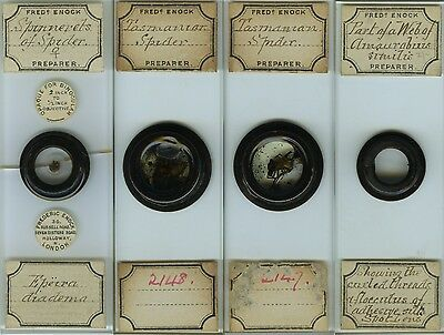 4 Spider Microscope Slides by Frederic Enoch