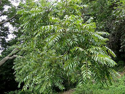 Australian Red Cedar Seed Drought & Frost Tolerant Tall Rainforest Tree