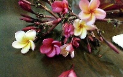 FRANGIPANI trees 5 for $30 ( SALE $) APRICOT  20cm -30cm (mix  Colours)