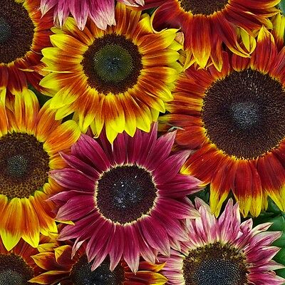 Sunflower - Harlequin Mixed - 25 Seeds