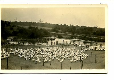 Large Group-Flock  of Ducks-Pond-Scenic View-RPPC-Vintage Real Photo Postcard