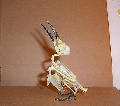 Rare Bird Taxidermy  Merops philippinus javanicus Adult Skeleton Display Nice
