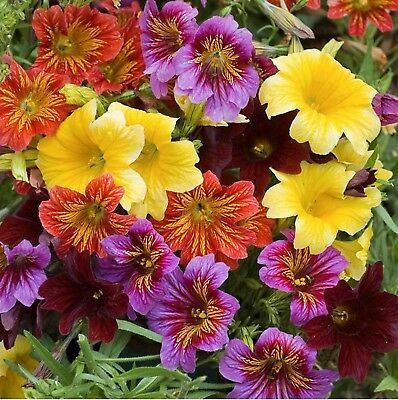 Flower Seeds Painted Tongue Mix (Salpiglossis sinuata) Annuals