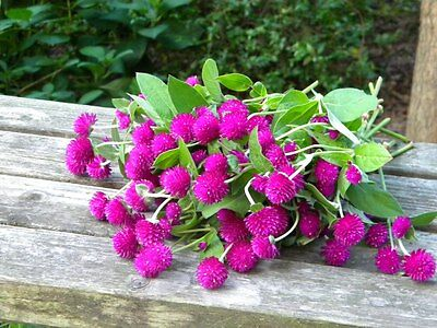 Globe Amaranth Buddy Purple Seed Cut or Dried Flower Bright Colour Annual