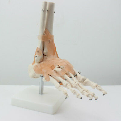 1:1 Life Size Foot Ankle Joint Anatomical Model Skeleton - Human Medical Anatomy