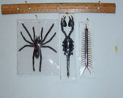 Taxidermy arachnids Spider Scorpion Centipedes Trio in Natural Display