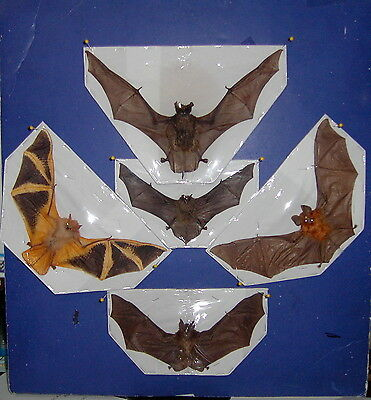 Flying Bat Bats Taxidermy 5 Species IN FLYING Position GREAT DISPLAY