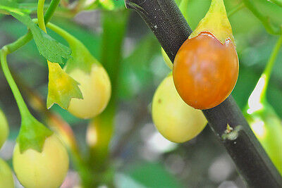 Kangaroo Apple Seed Evergreen Shrub to 4m Frost & Drought Tolerant Windbreak