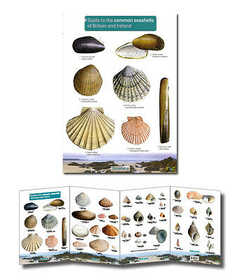 Field Guide to Britains Common Seashells Laminated Identification Chart Poster