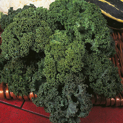 Borecole / Kale - Dwarf Green Curled - 2000 Seeds