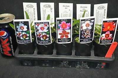 OoN 10 assorted Sarcochilus tubes orchids  New releases