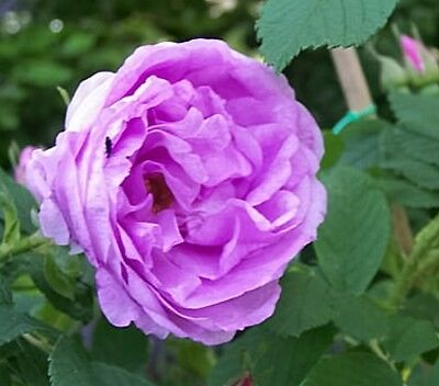Rugosa-Rose Wasagaming , Skinner , 1939, wurzelecht , Co. 5 L