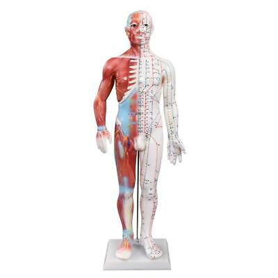 66fit™ Acupuncture and Muscle Male Model - 60cm - Pressure Point and Meridians