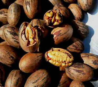 Pecan Stuart Nut tree Most sought after variety 10 seeds
