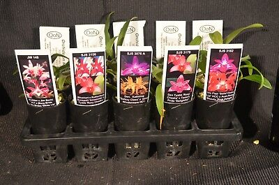 OoN 10 assorted Dendrobium tubes orchids NEW Releases