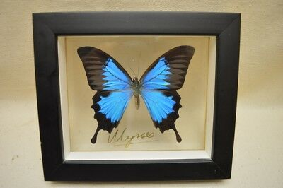 Ulysses Butterfly Mounted in Shadow Box (Papilio Ulysses ) Insect Taxidermy