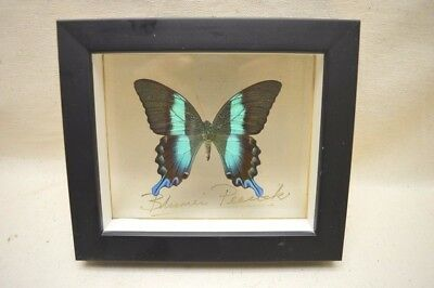 Blumei Peacock Butterfly Mounted in Shadow Box (Papilio blumei) Insect Taxidermy