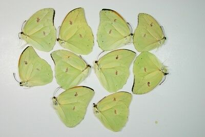 10 Anteos menippe butterflies in A1 condition