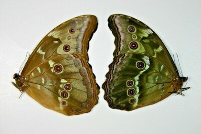 2 Morpho didus in A1 condition