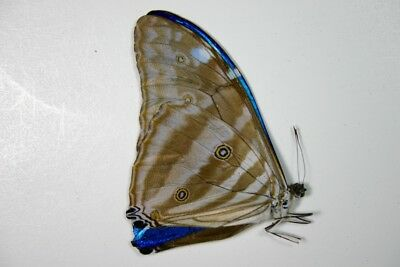 1 Morpho adonis in A1 condition