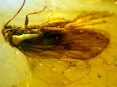 Huge Fossil Insect-Trichoptera- In Baltic Amber 45-55 Millions Years Old(7716 )