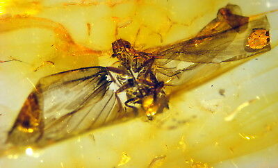 Fossil Insect - Cicada - In Baltic Amber 45-55 Millions Years Old(7753 )