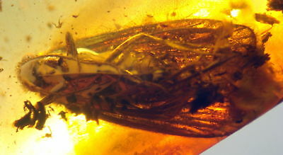 Huge Fossil Insect-Trichoptera- In Baltic Amber 45-55 Millions Years Old(7658 )