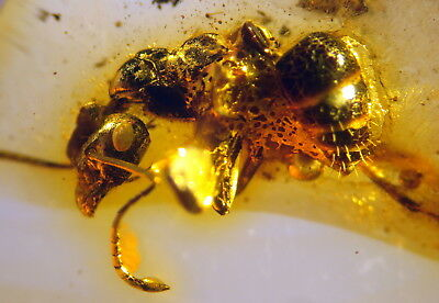 Fossil Ant In Baltic Amber 45-55 Millions Years Old(7665 )