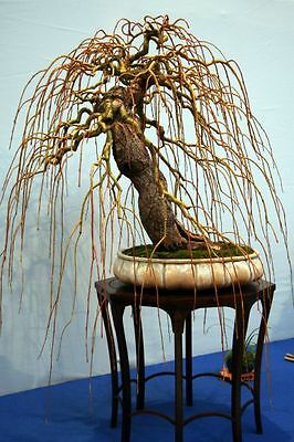 10 x Pre - Bonsai Trees Salix babylonica cuttings without leaves and roots