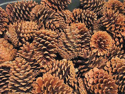 """Texas Pine Cones, Lot Of 25 Loblolly & Longleaf (Mixture Of 4"""" To 5-1/2"""" Tall)"""