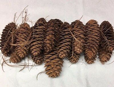 16 Authentic Pine Cones For Holiday Crafts Decorations