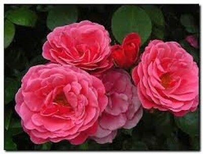 Pink Perpetue Climbing Rose Bare Root Plant's, Quality Roses