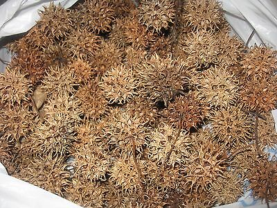 Texas Sweet Gum Balls With/without Stems(Approx 400 In Box),perfect For Crafts!