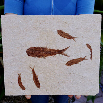 Spectacular 10 Inch Fifty Million Year Old Multi Fossil Fish Plate Knightia