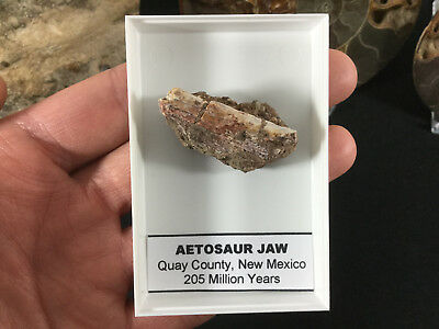 Aetosaur Jaw #01 - Bull Canyon Formation, New Mexico, Triassic Bone Fossil