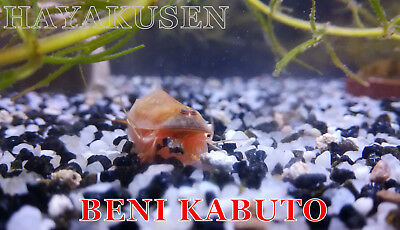 Triops Beni Kabuto Oeufs X 50 + Aliment + Notice / 50 X Eggs + Food + Manual