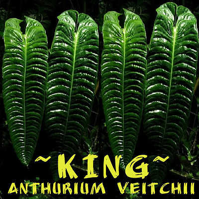 ~KING ANTHURIUM ~ SPECTACULAR Anthurium veitchii LIVE sml Sz Potd PLANT 6-9+in