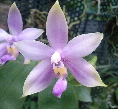 Phal. violacea blue`Malaysian´Orchid NATURF= EXCLUSIVES HIGHLIGHT+ ein KLASSIKER